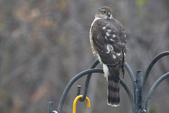 Sharp-Shinned Hawk or Merlin?