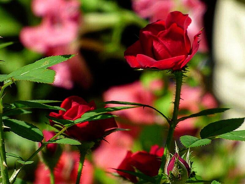 Unas Rosas Por Tus Pensamientos Img20160919000057 Flickr