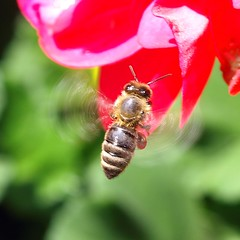 A flying honey bee with red pollen.
