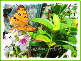 Junonia almana javana (Peacock Pansy), resting on our Pseuderanthemum reticulatum, August 25 2012