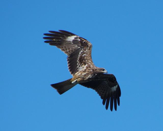 基隆港的老鷹