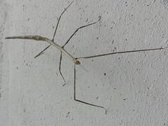 ナナフシ Phasmatodea