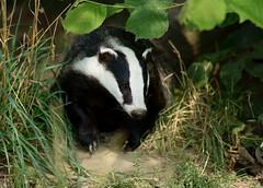 giant panda(0.0), animal(1.0), mammal(1.0), fauna(1.0), badger(1.0), wildlife(1.0),