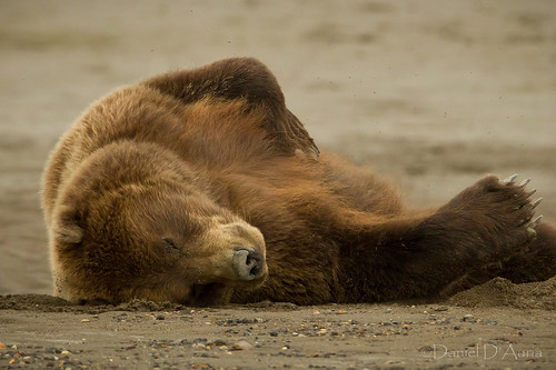 Let Sleeping Bears Lie....Coastal brown bear slumbering on the beach at Lake Clark National Park and Preserve in Alaska 2288