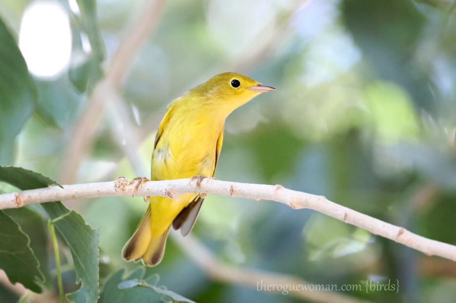 081312_02_bigMor_yellowWarbler