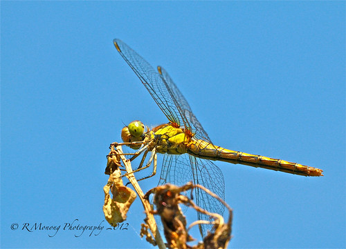 My first dragonfly - Explored Sept 07, 2012