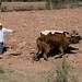 Arrando con una yunta - Plowing with oxen; cerca de San Pedro Tidaá, Región Mixteca, Oaxaca, Mexico por Lon&Queta