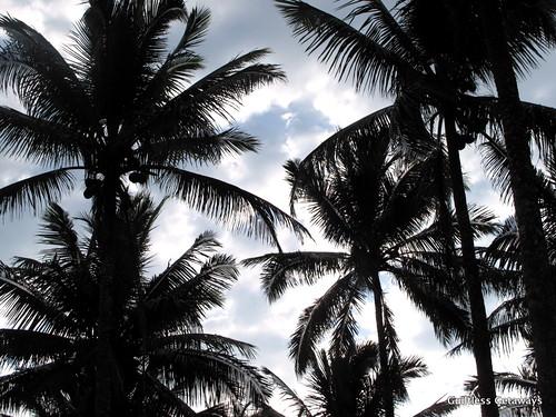 coconut-trees-philippines.jpg