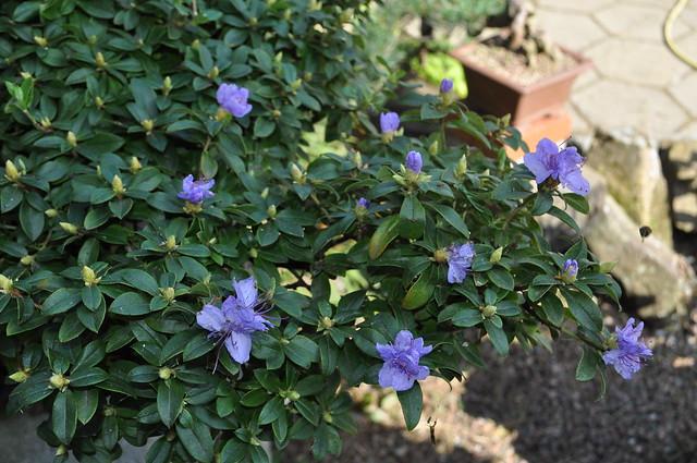 Azaleia Azul-Rhododendron Blue Diamond 7956283746_004bce5457_z