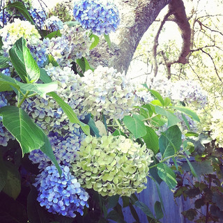 Pretty Hydrangeas are everywhere!