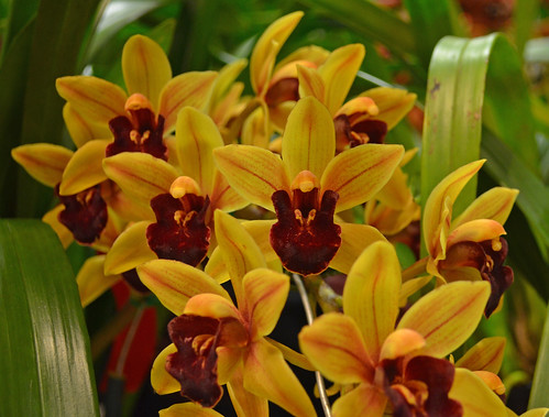 Cymbidium Unknown