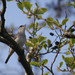 Blackcap singing Ham Wall (Ed Drewitt)