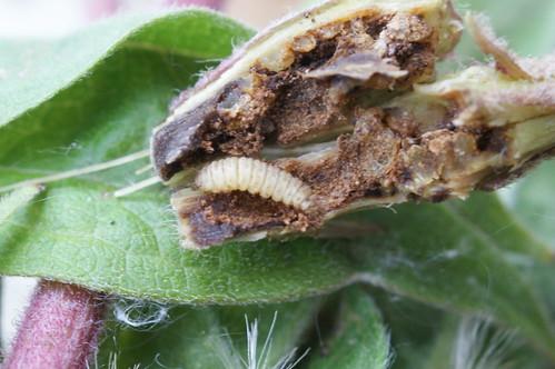 Adaina microdactyla - larva in Hemp-agrimony stem