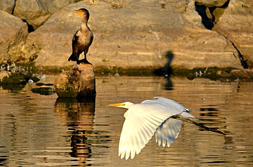 Snowy Egret caught flying past the Cormorant!