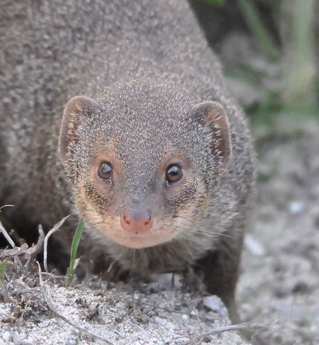 Mongoose, antigua by franbanks1 ( Now run out of rum :( )