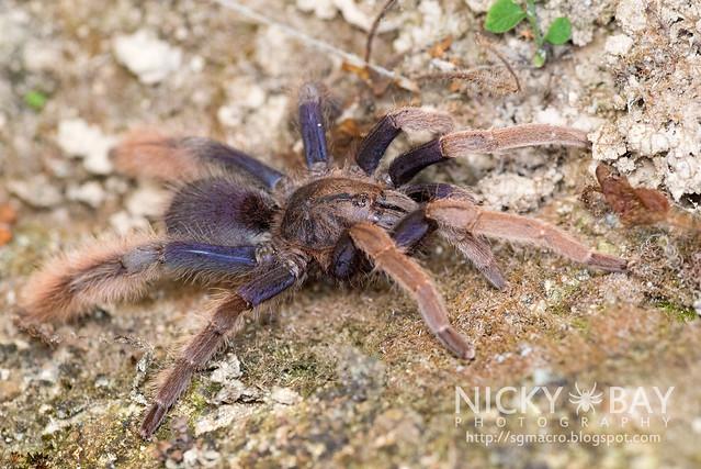 Malaysian Purple Femur Tarantula (Coremiocnemis sp.) - DSC_5988