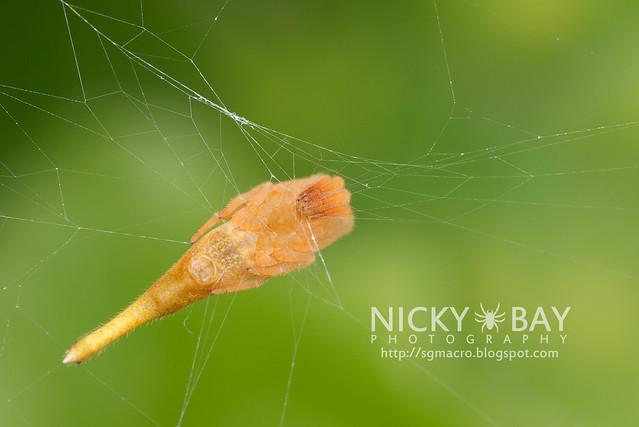Scorpion-Tailed Spider (Arachnura sp.) - DSC_5732