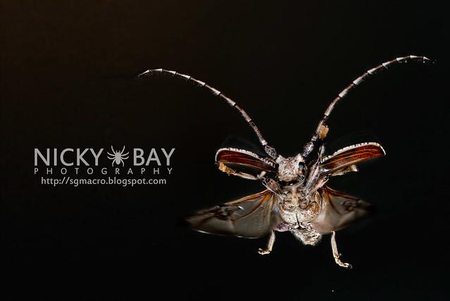 Longhorn Beetle (Cerambycidae) - DSC_5511