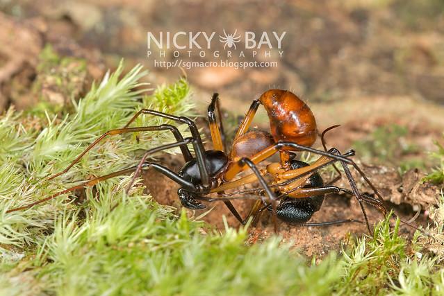 Ground Spider (Zodariidae) - DSC_9997