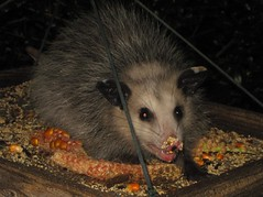 animal, opossum, virginia opossum, possum, common opossum, mammal, fauna, whiskers,