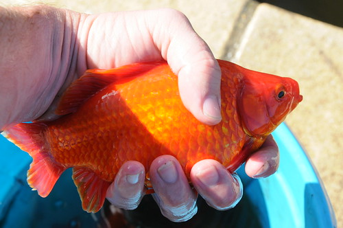 Earth wind water lovely fat goldfish for Koi fry pool