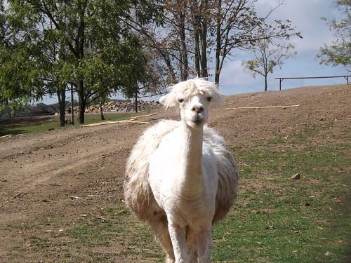 hvítt Llama by countrylife4me1