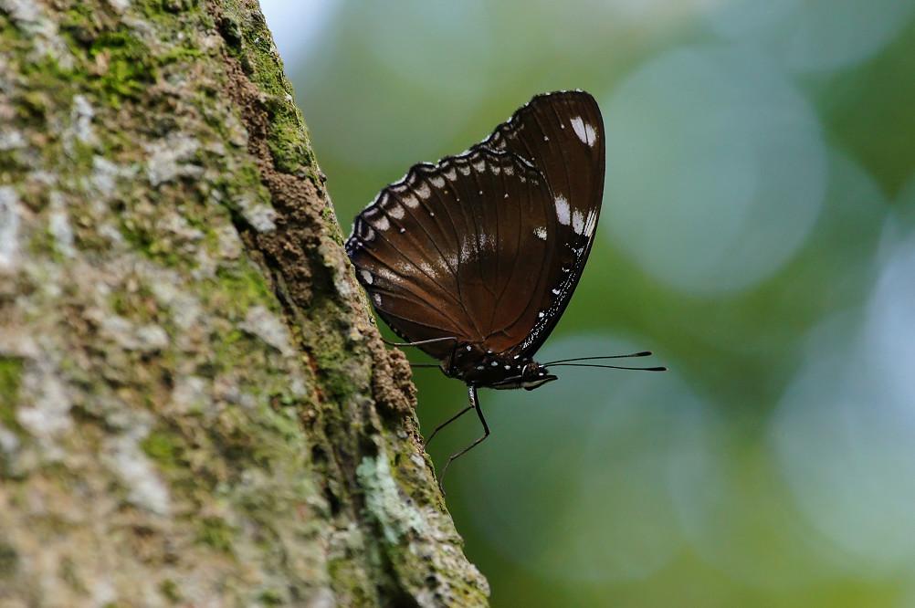 琉球紫蛺蝶-3