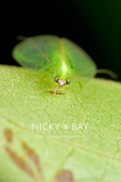 Green Lacewing (Chrysopidae) - DSC_6048