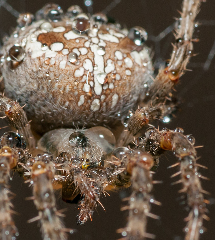 Big ugly wet orbweaver spider