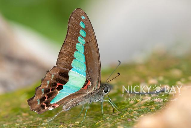 Common Bluebottle (Graphium sarpedon luctatius) - DSC_4287