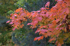 Maples by the Road