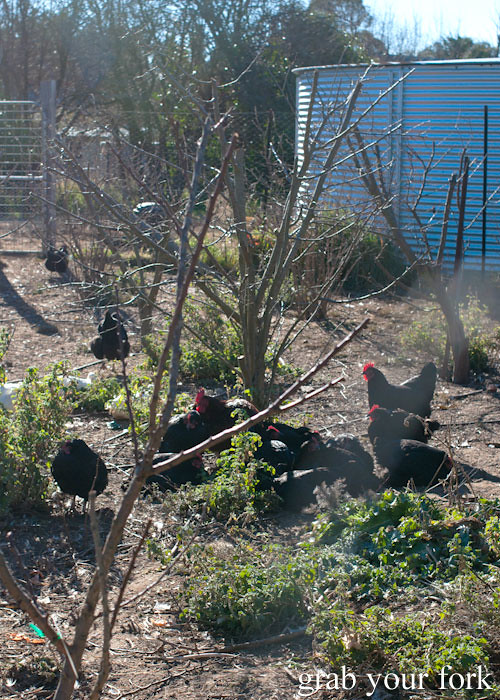 Chickens in the garden at Grazing in Gundaroo