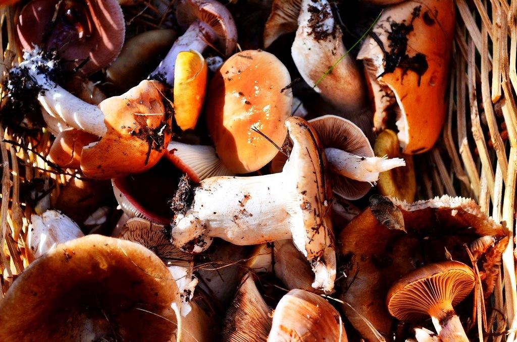 Mushrooming in Spain