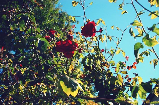 rose_effected