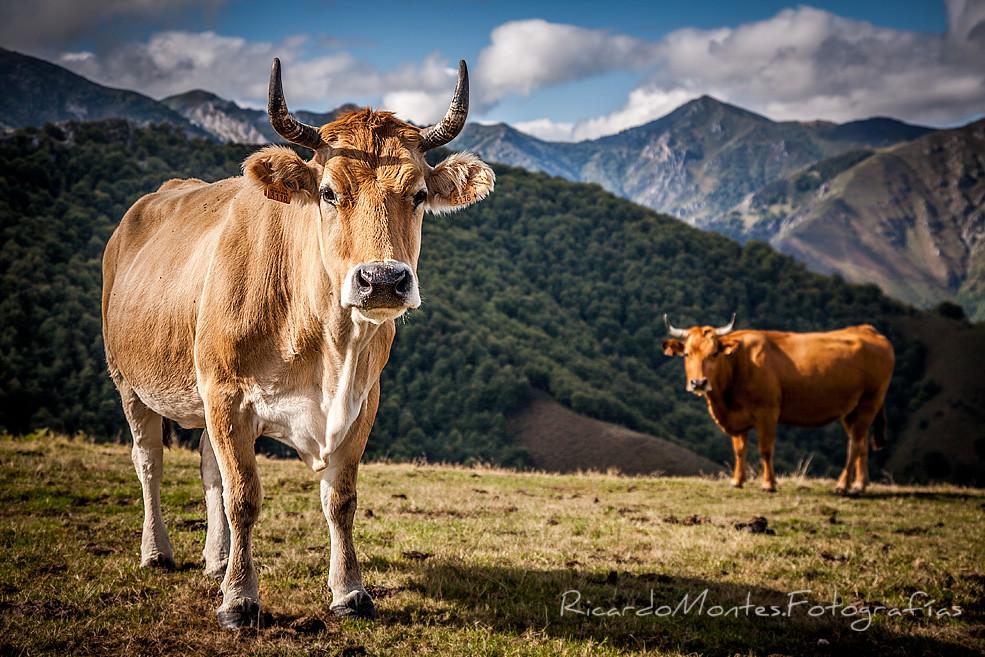 Wapas Vacas II