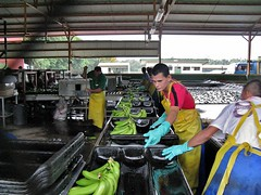 Del Monte banana packing plant 2