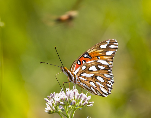 flower macro nature canon butterfly insect wildlife lepidoptera bloom wildflower fritillary gulffritillary 550d