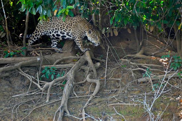 Jaguar (Panthera onca) female walking on the river bank ...