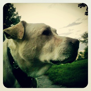 Love my big boy! #dogs #profile #dogsofinstagram #dogstagram #instadog #summer #driveway #petstagram