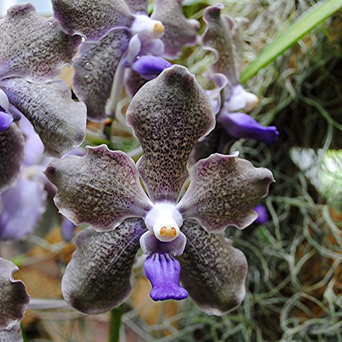 Purple curly edged Vanda orchid curls its way into your heart! by jungle mama