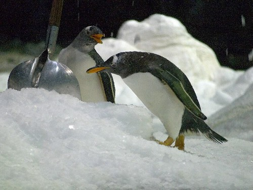 Eselspinguin (Pygoscelis papua) / Gentoo Penguin by Carsten Gyger