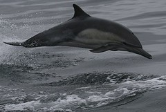 Common dolphin - Whale and dolphin watching in Peru with Nature Expeditions