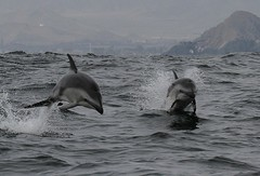 Dusky dolphins - Whale and dolphin watching with Nature Expeditions in Peru 4