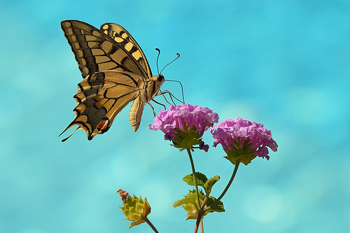 European Swallowtail - Papilio machaon