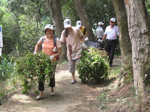 小花蔓澤蘭是惡名昭彰的入侵植物。圖為民眾協助清除之資料畫面,林務局提供。