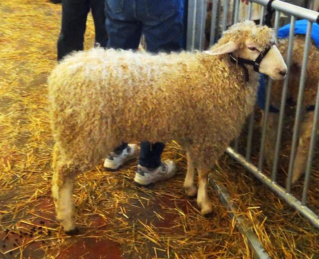 fair-sheep