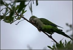 Quaker parrots #2