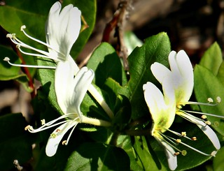 White Honeysuckle