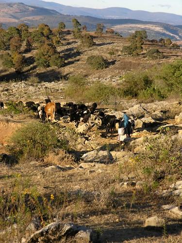 Woman and animals returning home - Mujer y sus animales regresando a la casa en la vereda hacia San Juan Diuxi, Región Mixteca, Oaxaca, Mexico