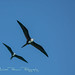 Frigatebirds in Flight by Michael Pancier Photography